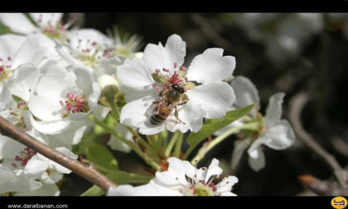 نحلة تمتص الرحيق