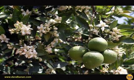 زهر مع ثمار الليمون