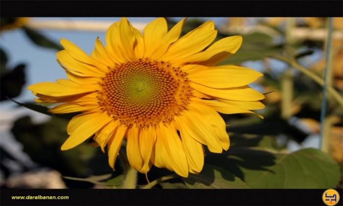دوار الشمس